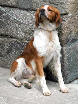 Dog in Dinan