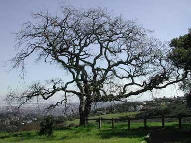 Tree in Edgewood Park