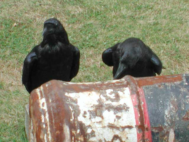 Ravens of London