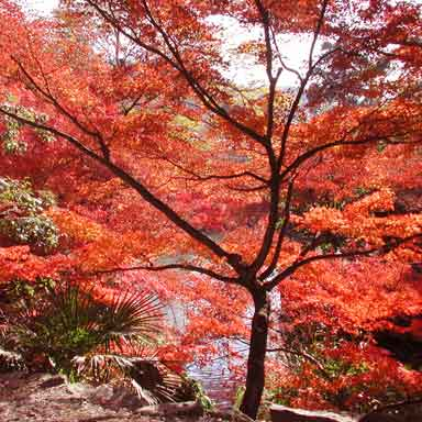 Red Tree in Kyoto, Japan