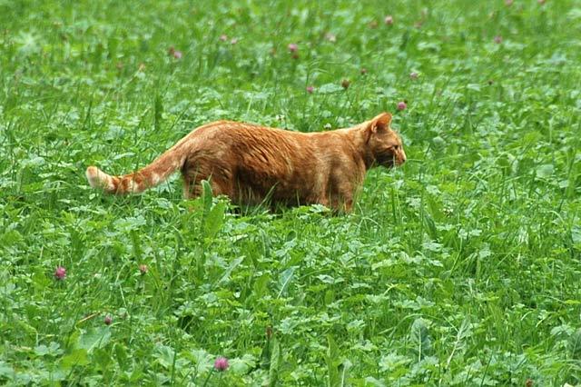 Field Cat